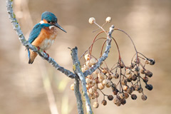 Kingfisher at Hula Reserve