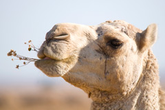 Camel chewing desert flowers
