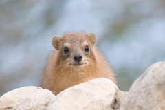 Hyrax - Israeli rock rabbit