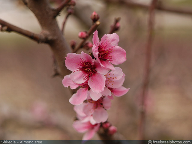 Shkedia - Almond tree